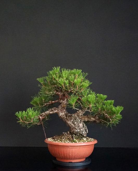 Pino Nero Giapponese 2 - Pinus Thumbergii 2 - Pagina 2 3_retr13