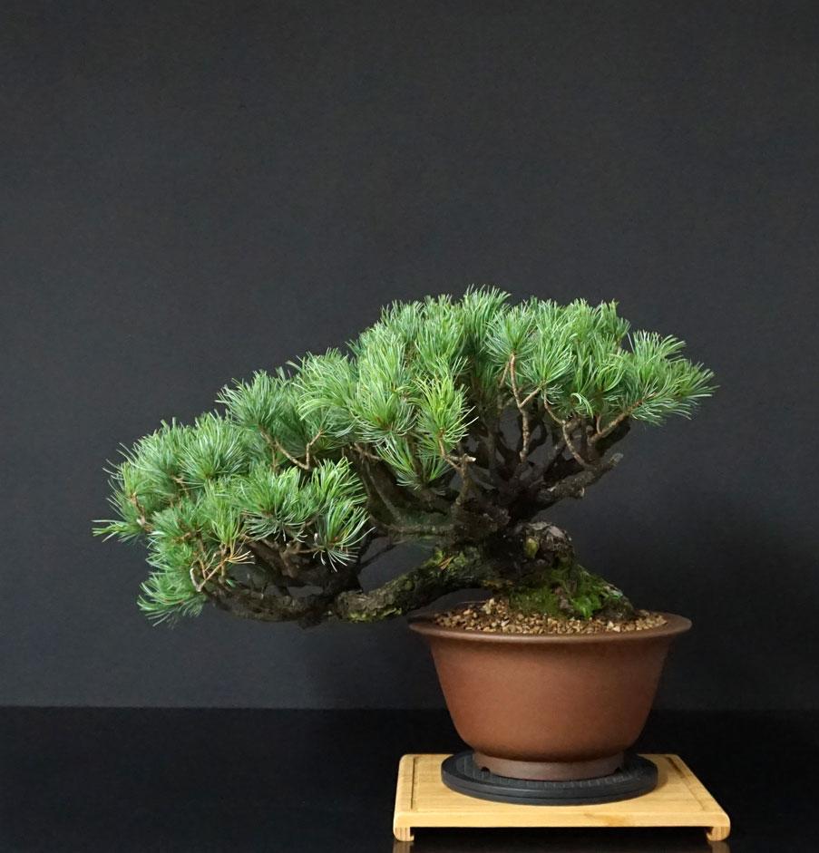 """Pinus Parviflora Var. """"Ibokan"""" 3_retr18"""