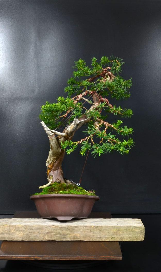 Taxus Baccata 4_lato10