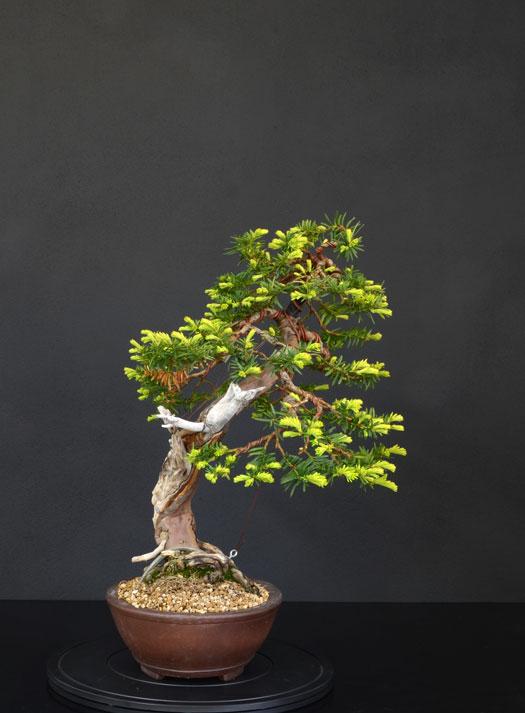 Taxus Baccata 4_lato11