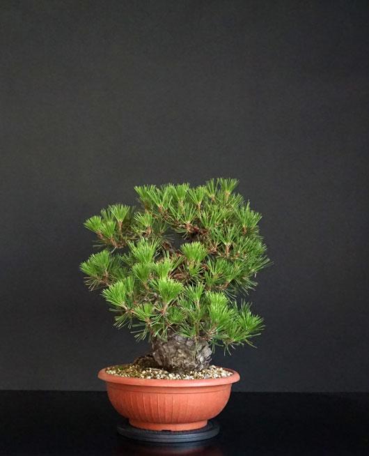 Pino Nero Giapponese 2 - Pinus Thumbergii 2 - Pagina 2 4_lato13