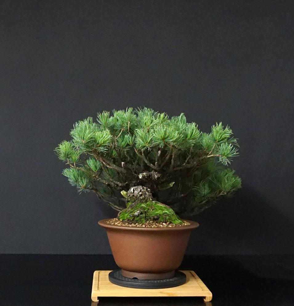 """Pinus Parviflora Var. """"Ibokan"""" 4_lato17"""
