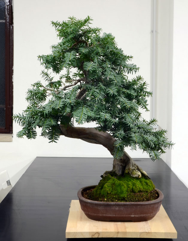 Taxus Baccata 5--fro10
