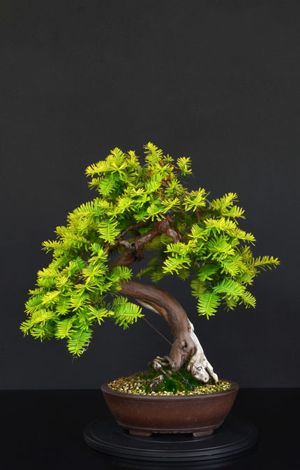 Taxus Baccata 5--fro11