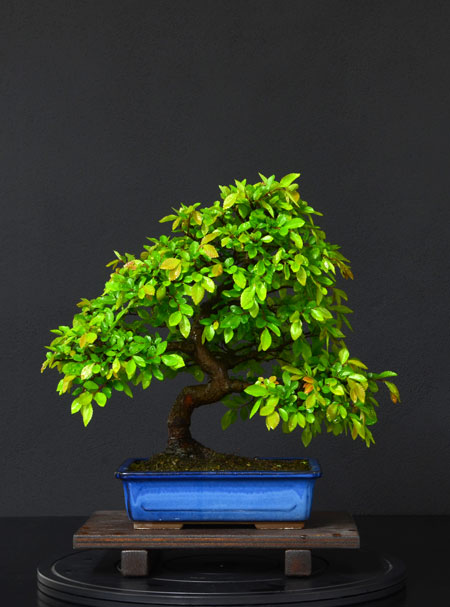 Ulmus Parvifolia (Olmo Cinese) - Anlaids - Pagina 4 5_fron11