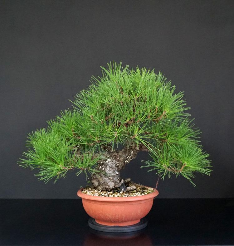 Pino Nero Giapponese 2 - Pinus Thumbergii 2 - Pagina 2 5_pinu10