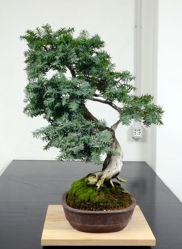 Taxus Baccata 6--lat10