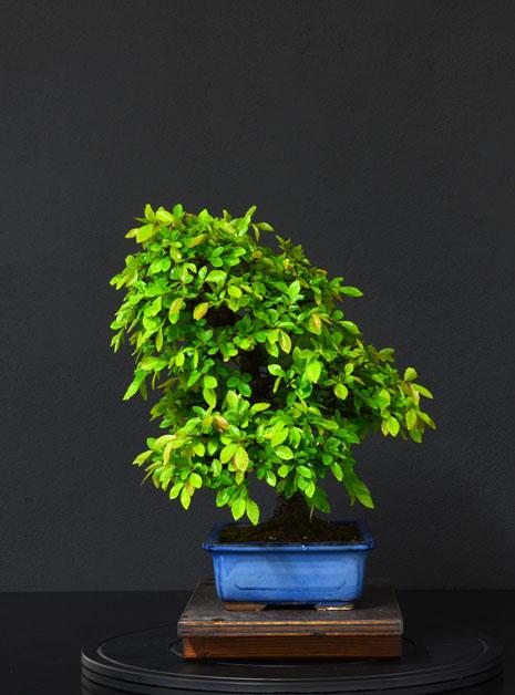 Ulmus Parvifolia (Olmo Cinese) - Anlaids - Pagina 4 6_lato11