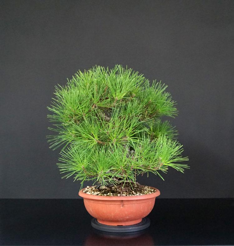 Pino Nero Giapponese 2 - Pinus Thumbergii 2 - Pagina 2 6_lato12