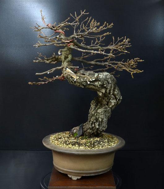 Quercus cerris - Pagina 8 7--lat10