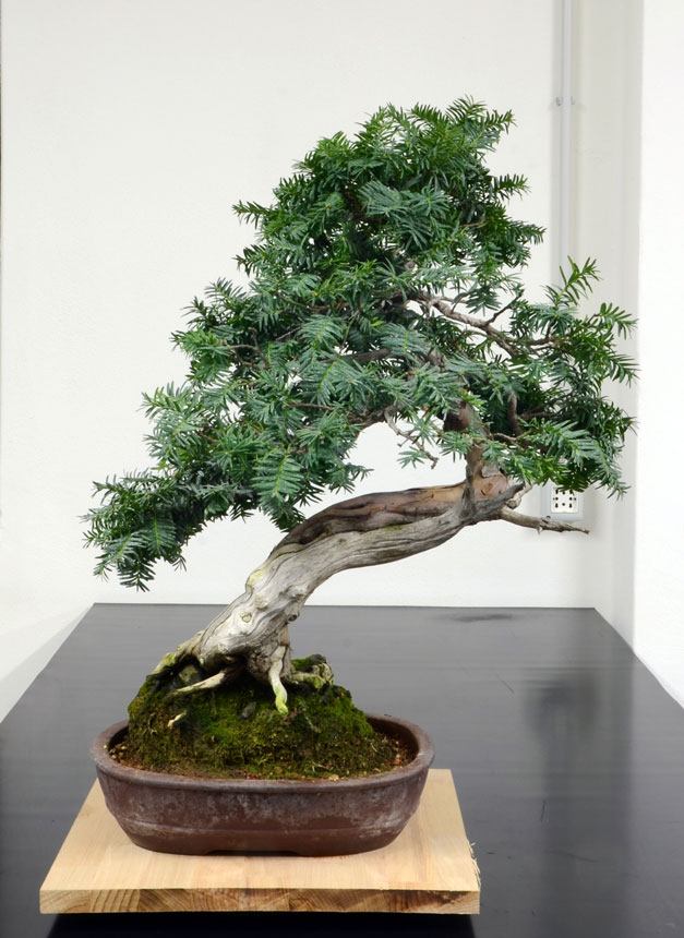 Taxus Baccata 7--ret10