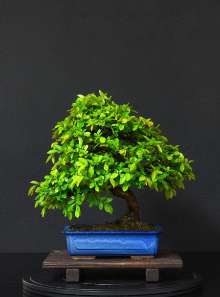 Ulmus Parvifolia (Olmo Cinese) - Anlaids - Pagina 4 7_retr11