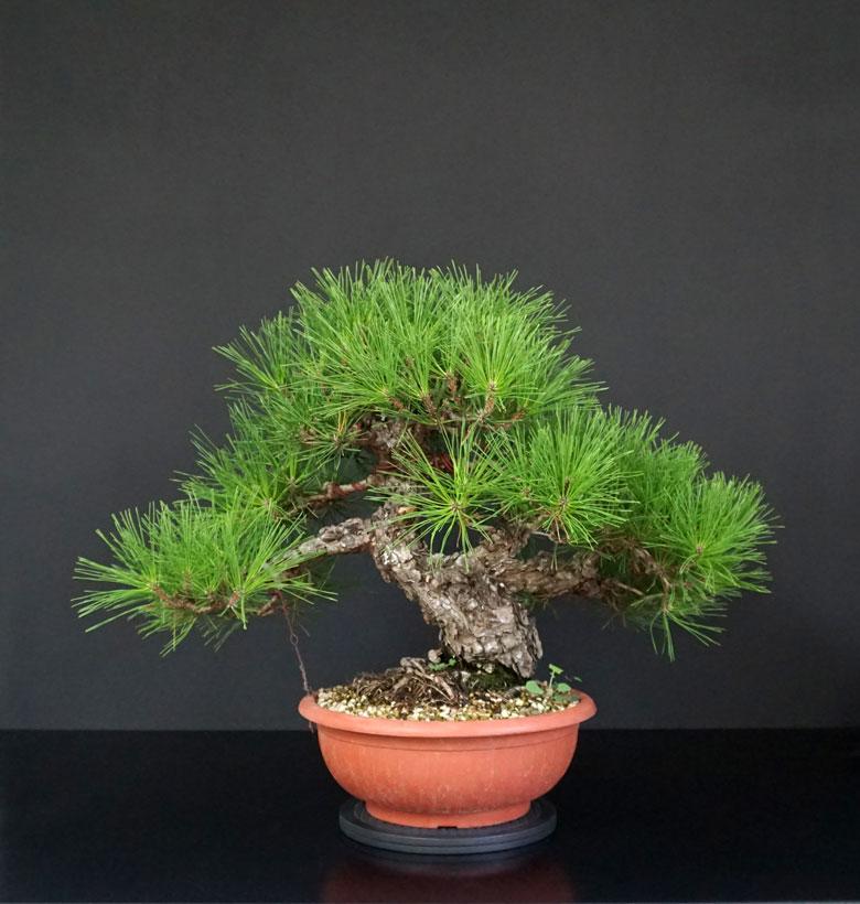 Pino Nero Giapponese 2 - Pinus Thumbergii 2 - Pagina 2 7_retr12