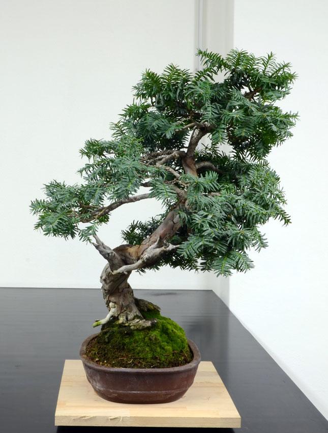 Taxus Baccata 8--lat10
