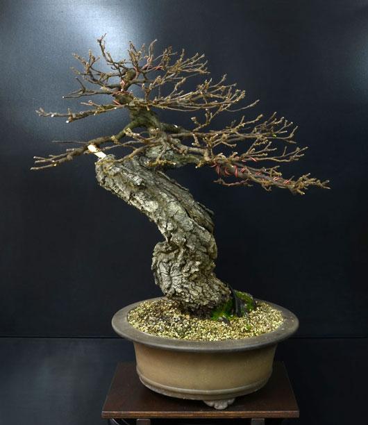 Quercus cerris - Pagina 8 8--ret10