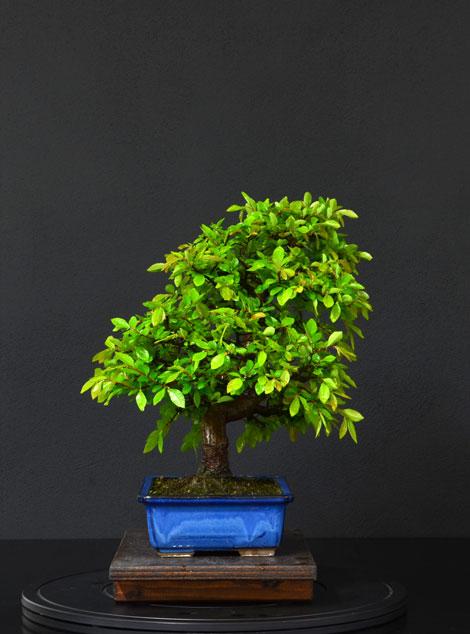 Ulmus Parvifolia (Olmo Cinese) - Anlaids - Pagina 4 8_lato11