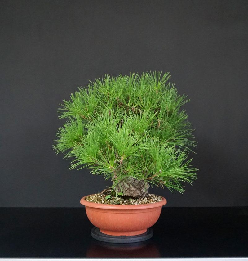Pino Nero Giapponese 2 - Pinus Thumbergii 2 - Pagina 2 8_lato12