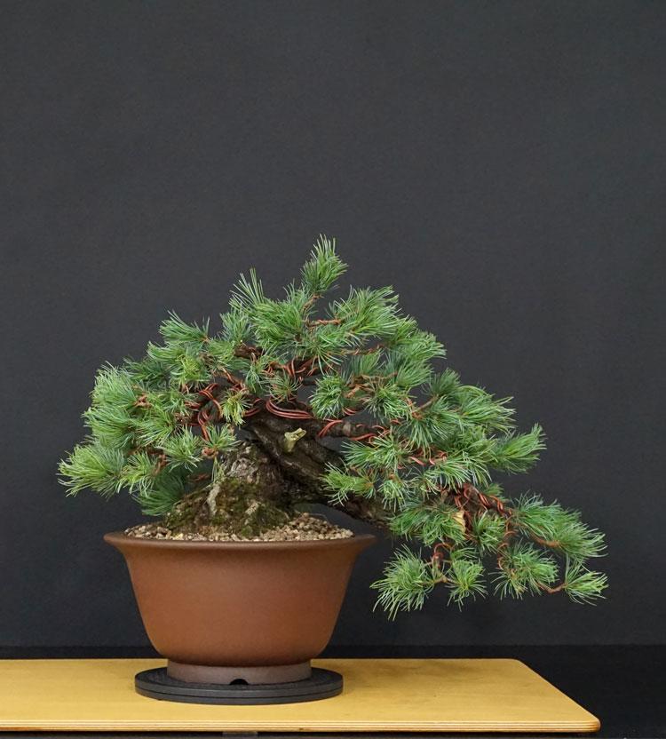 "Pinus Parviflora Var. ""Ibokan"" 9--fro11"