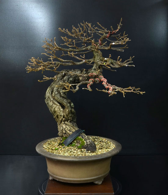 Quercus cerris - Pagina 8 9--lat10