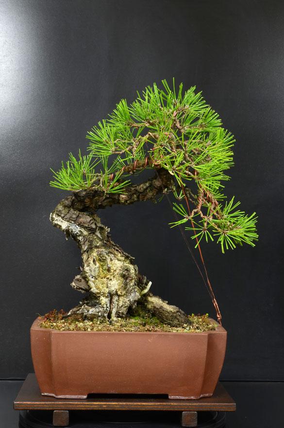 Pino Nero Giapponese - Pinus Thumbergii - Pagina 2 9_fron10