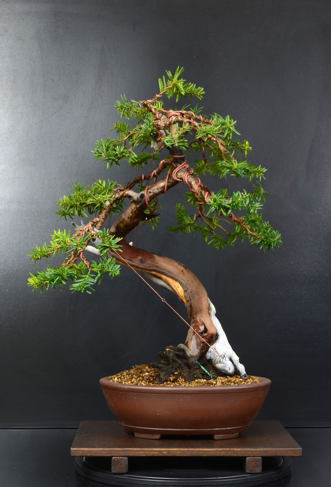 Taxus Baccata 9_fron11