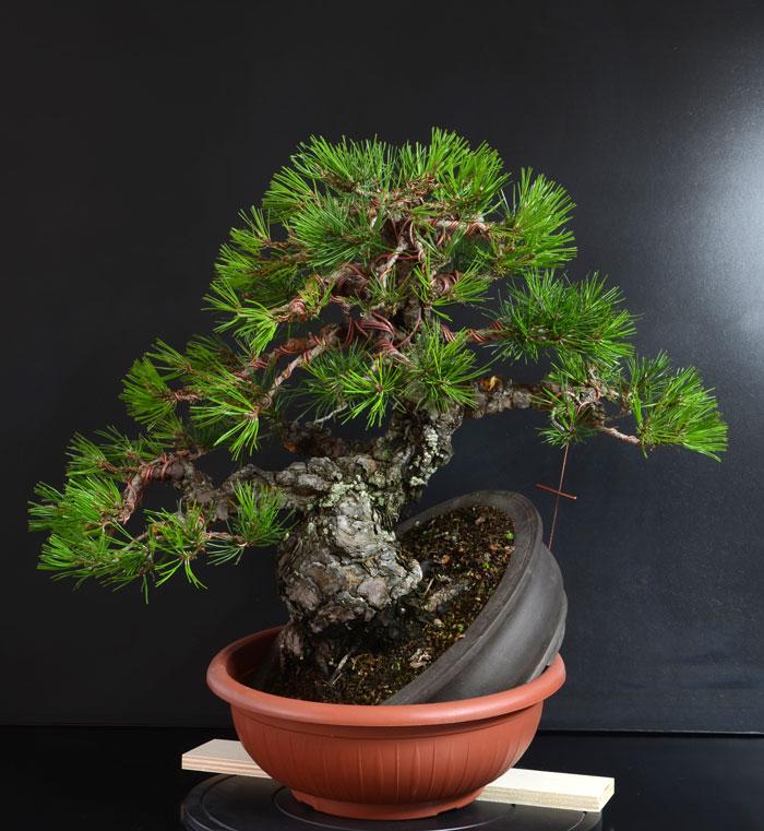 Pino Nero Giapponese 2 - Pinus Thumbergii 2 - Pagina 2 A_fron10