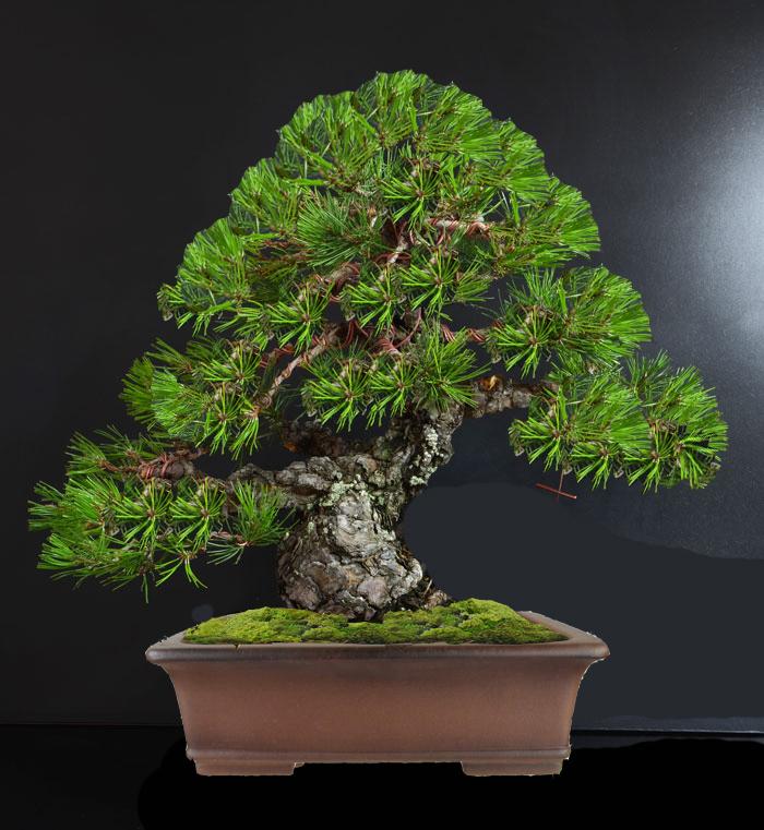 Pino Nero Giapponese 2 - Pinus Thumbergii 2 - Pagina 2 A_fron12