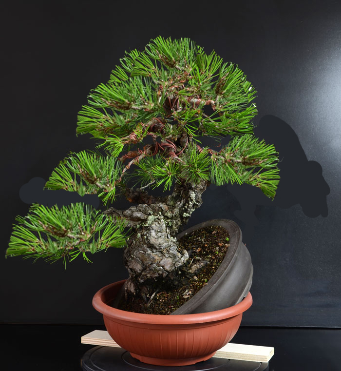 Pino Nero Giapponese 2 - Pinus Thumbergii 2 - Pagina 2 A_fron13