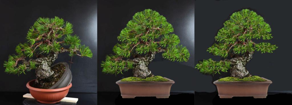 Pino Nero Giapponese 2 - Pinus Thumbergii 2 - Pagina 2 A_fron15