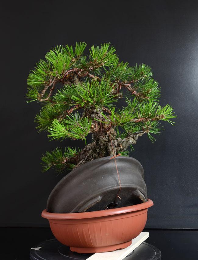 Pino Nero Giapponese 2 - Pinus Thumbergii 2 - Pagina 2 B_lato11