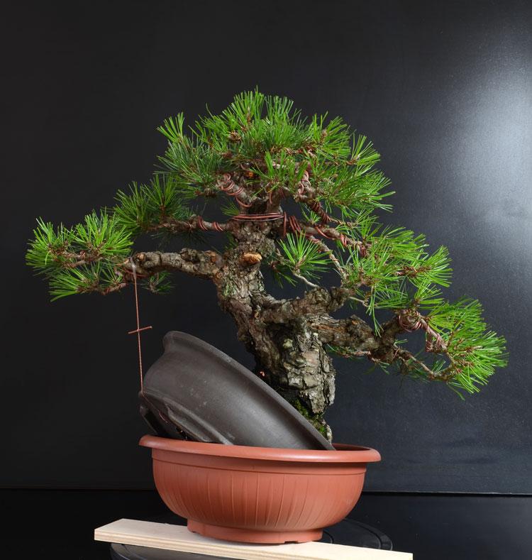 Pino Nero Giapponese 2 - Pinus Thumbergii 2 - Pagina 2 C_retr11