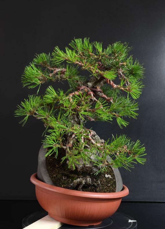 Pino Nero Giapponese 2 - Pinus Thumbergii 2 - Pagina 2 D_lato11