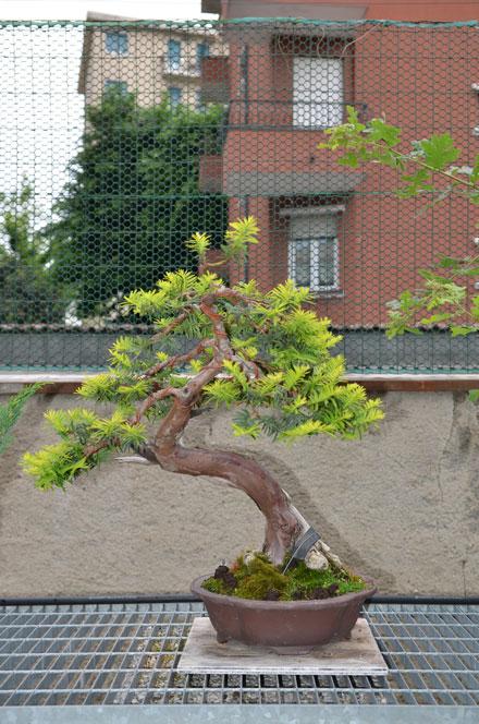 Taxus Baccata Dsc_3610