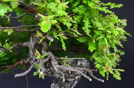 Quercus cerris - Pagina 8 Dsc_3810