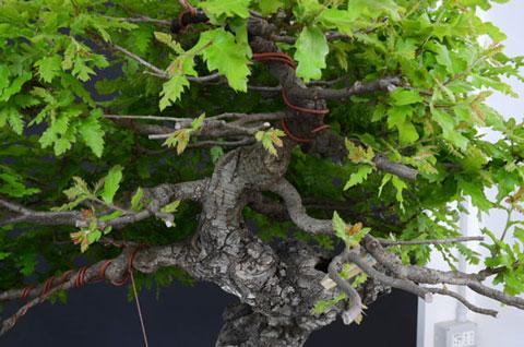 Quercus cerris - Pagina 8 Dsc_3811