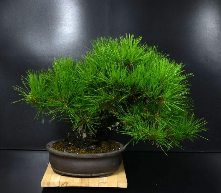 Pino Nero Giapponese 2 - Pinus Thumbergii 2 Fronte11