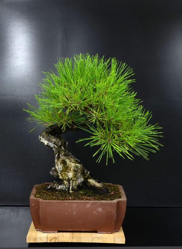 Pino Nero Giapponese - Pinus Thumbergii - Pagina 2 Fronte12