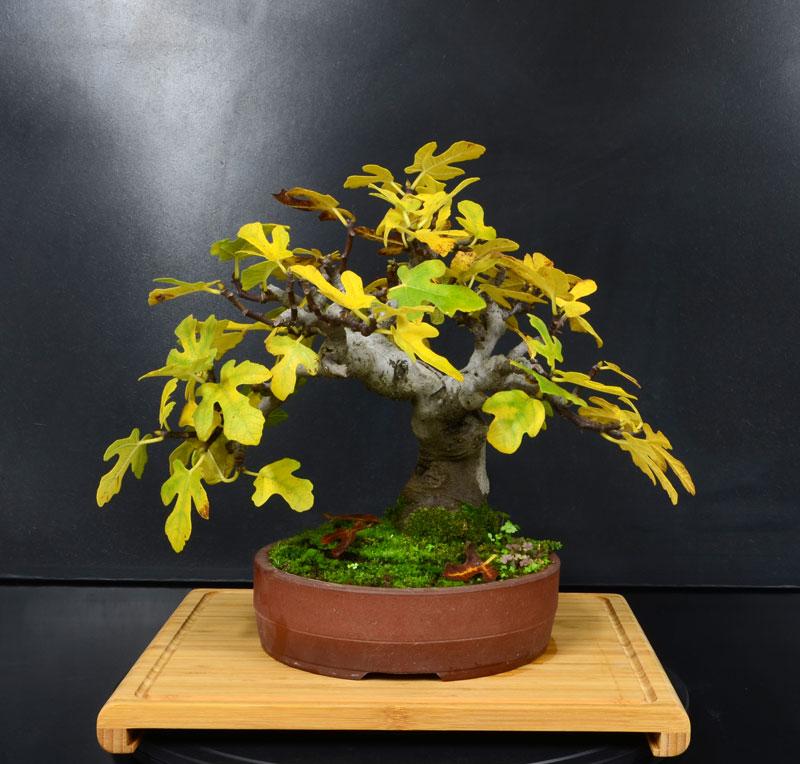 Ficus-Carica - Pagina 11 Fronte13