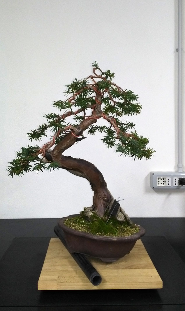 Taxus Baccata Fronte14