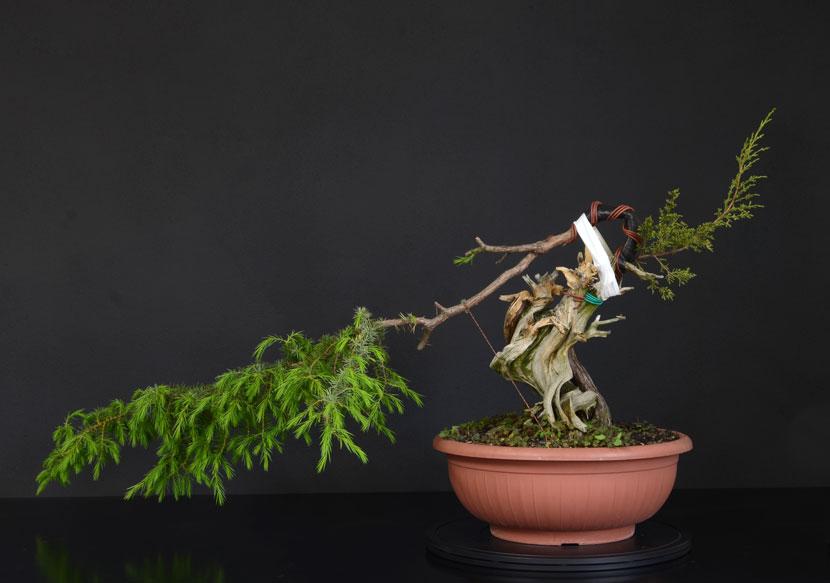 Juniperus Rigida Giapponese (Tosho) Fronte15