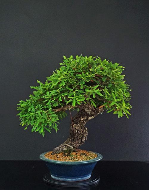 Quercus cerris - Pagina 9 Fronte17