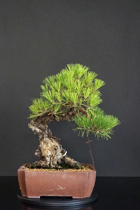 Pino Nero Giapponese - Pinus Thumbergii - Pagina 2 Fronte19