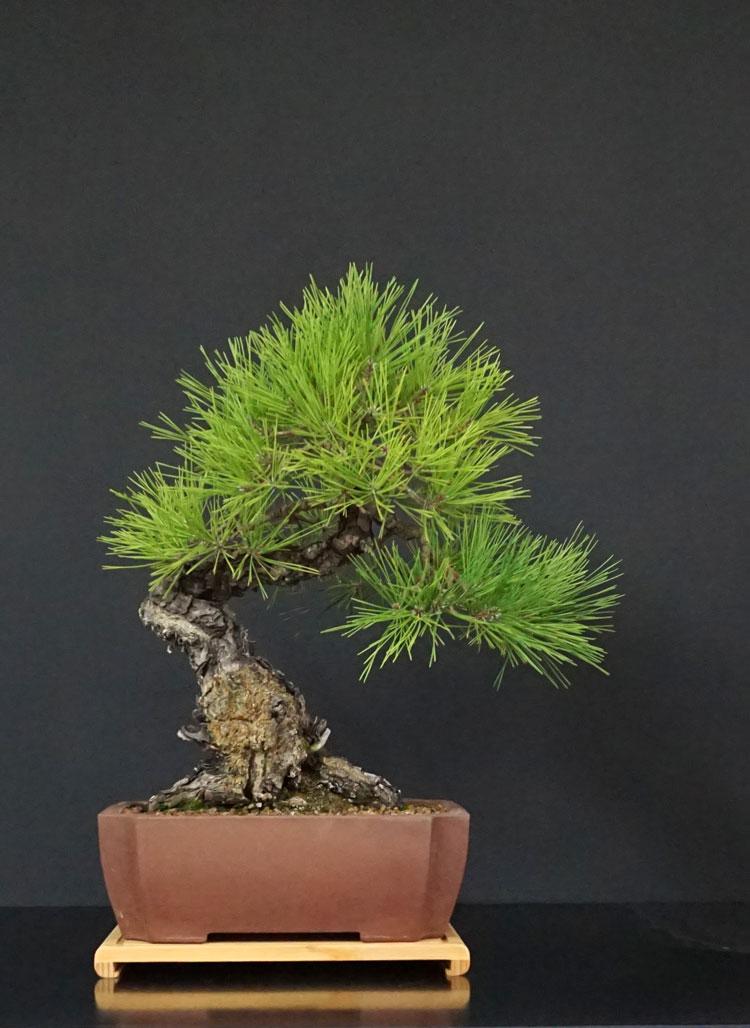 Pino Nero Giapponese - Pinus Thumbergii - Pagina 3 Fronte23