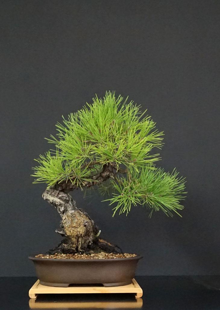 Pino Nero Giapponese - Pinus Thumbergii - Pagina 3 Fronte24