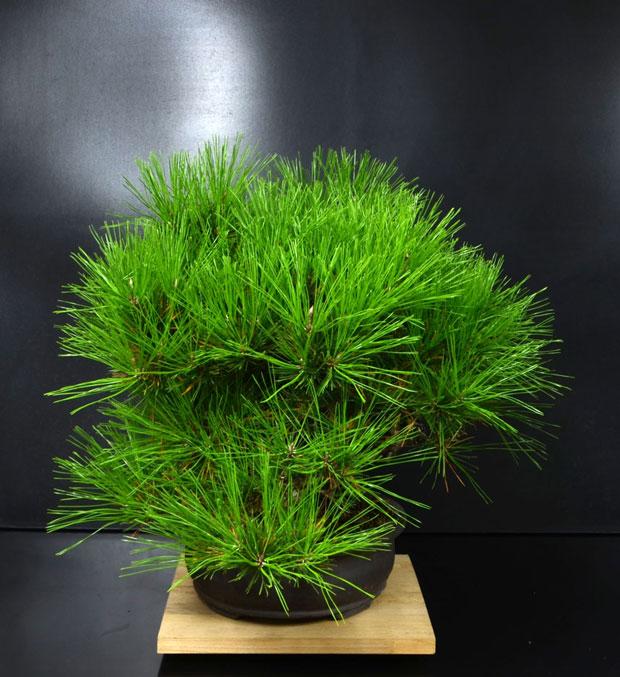 Pino Nero Giapponese 2 - Pinus Thumbergii 2 Lato-d11