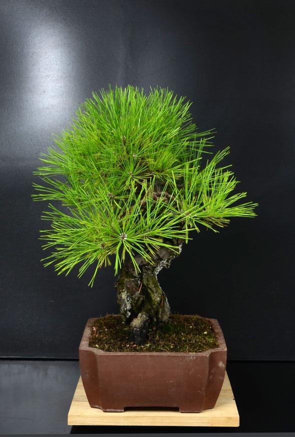 Pino Nero Giapponese - Pinus Thumbergii - Pagina 2 Lato-d12