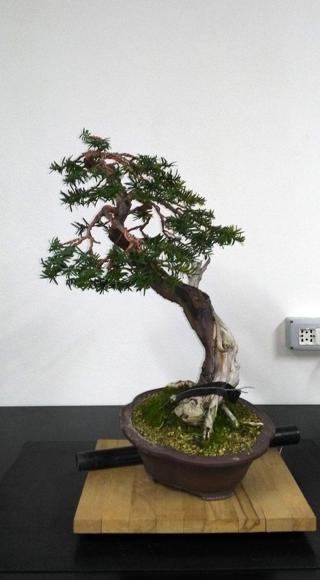 Taxus Baccata Lato-d14