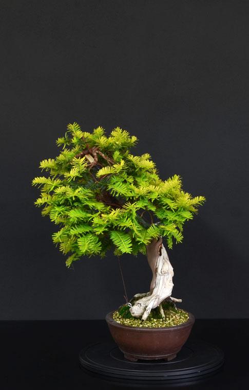 Taxus Baccata Lato-d16