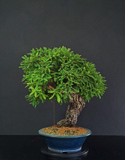 Quercus cerris - Pagina 9 Lato-d17