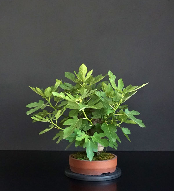 Ficus-Carica - Pagina 11 Lato-d18